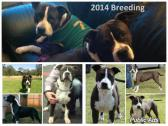 AMERICAN STAFFORDSHIRE TERRIER / AMSTAFF PUPPIES