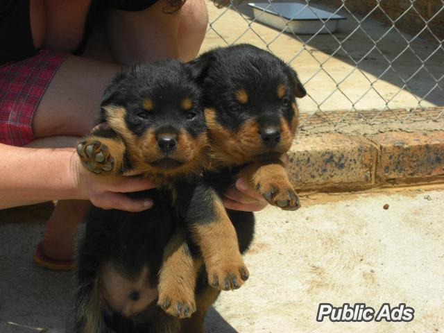 Rottweiler puppies | Benoni | Public Ads Rottweiler Dogs & Puppies