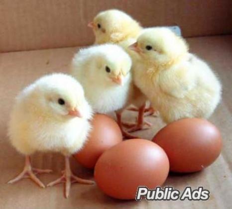 Healthy layer chickens,broilers fresh eggs, layer mesh, chicken coops