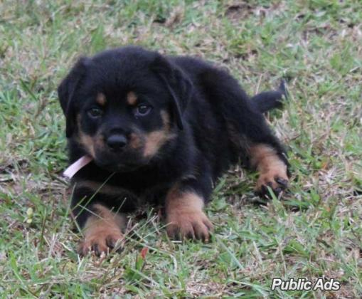 Imported and Champion Bloodline Rottweiler breeder.