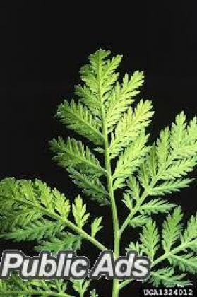 Organic Artemisia Annua Annamed TEA  - (antimalarial)