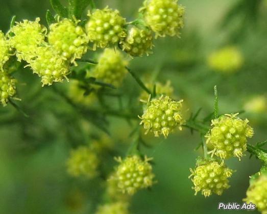 Organic Artemisia Annua Annamed TEA  - (antimalarial)