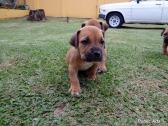 REGISTERED BOERBOEL PUPPIES FOR SALE (SPITSVUUR X KLEIN SANDFONTEIN)