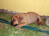 REGISTERED BOERBOEL PUPPY FOR SALE