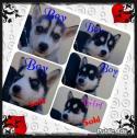 Siberian Husky puppies te koop