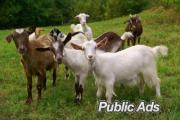 various types of livestock cow, pigs, goats, sheep, bulls