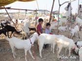 various types of livestock cow, pigs, goats, sheep, bulls