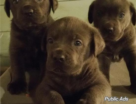 Cane Corso Puppies Available in Lydenburg, Mpumalanga