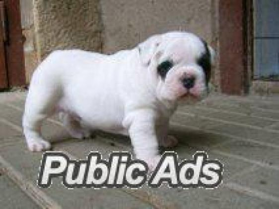 Healthy well-educated English Bulldog Puppies
