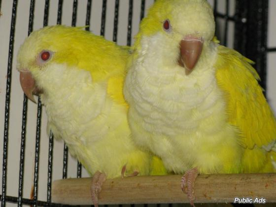 Lutino Quaker Parrots for sell