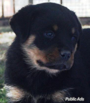 Rottweiler Puppies KUSA Registered