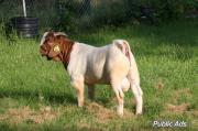Boer goats and sheep clearance sale