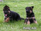 German Shepherd Ready For Sale
