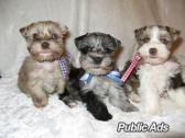 Mini Schnauzer Pup's for sale