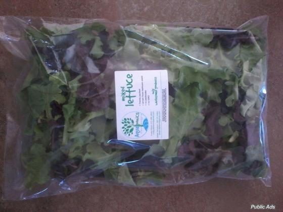 Aquaponics Lettuce