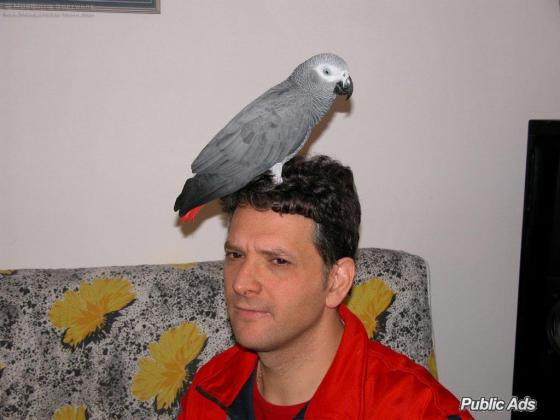 Male and Female African Grey parrots for adoption