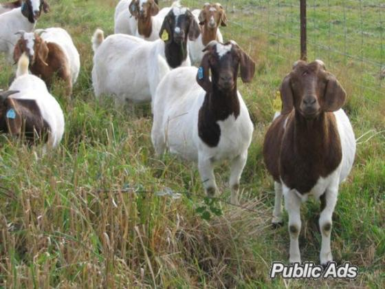 Sheep ,Goat,piglet and Lam available for sell