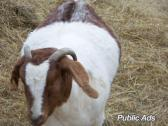 full blood ABGA Boer goats and Sheep
