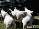 full blood ABGA Boer goats and Sheep