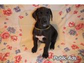 Great Dane Puppies for loving homes