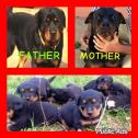 Rottwieler puppies for sale