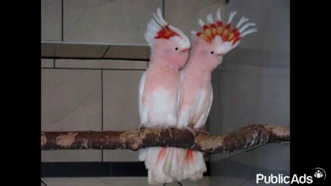 All Species Of Birds/Parrots For Sell