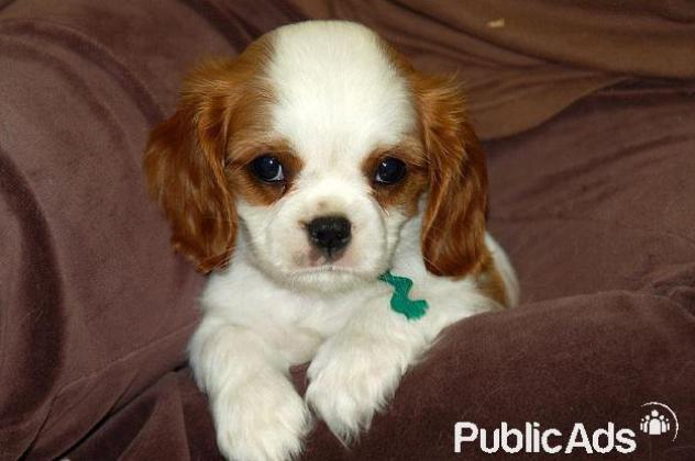 Cavalier King Charles Spaniel Pups for sale in Hartbeespoort, North West
