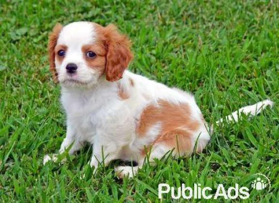 Gorgeous and fluffy Cavalier King Charles Spaniel Puppies