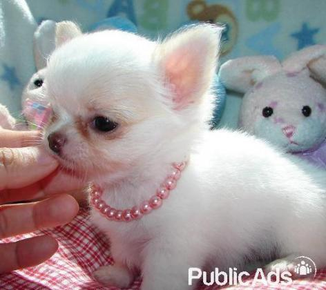 Purebred Tcup Chihuahua Puppies for sale