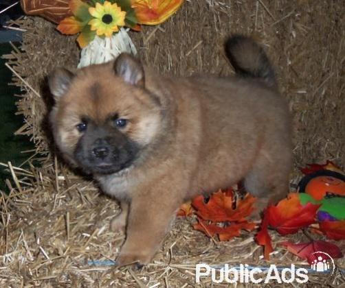 Sweet,heavenly Chow Chow puppies for sale in Pretoria-Tshwane, Gauteng