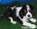 Blenheim Cavalier king charles spaniel pups for sale