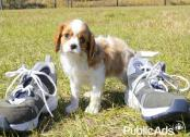 Blenheim Cavalier king charles spaniel pups for sale
