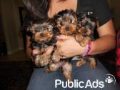 6 beautiful tcup Yorkshire terrier puppies for sale