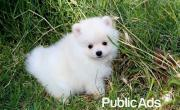 Beautiful smart Pomeranian Puppies looking for loving homes