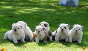 Cute healthy and very playful English bulldog Puppies