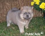 Sweet,heavenly Chow Chow puppies for sale