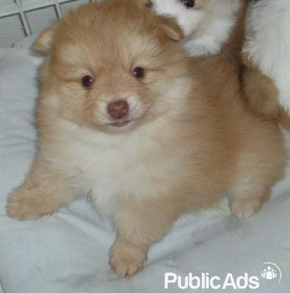Adorable Toy Pomeranian male and female puppies are available