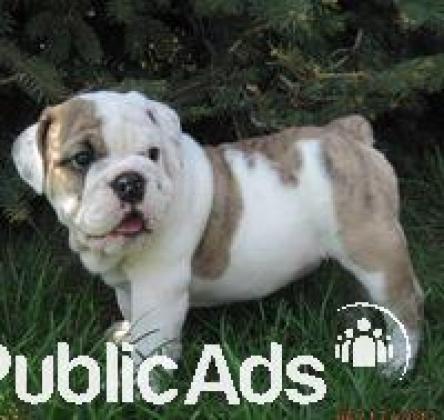 Affectionate Enlish bulldog puppies