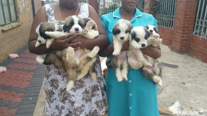 champions breed saint bernard puppies