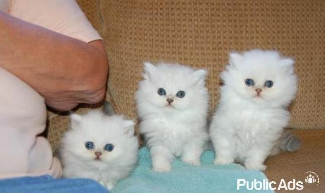 Chinchilla Persian kittens available for sale now !!!!