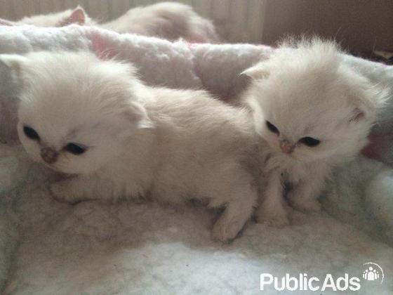 Chinchilla Silver Tipped male kitten for sale