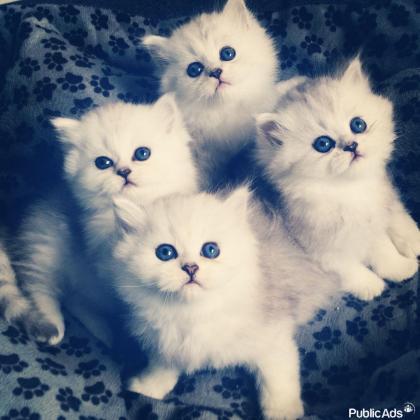 Fluffy Persian Kittens For Sale
