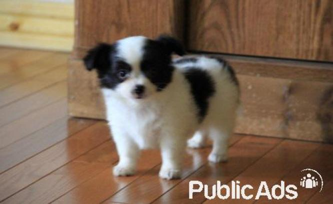 Gorgeous and healthy Chihuahua pups available to approved home