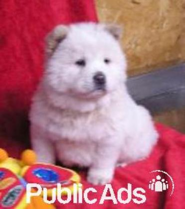 Gorgeous little fluffy Chow Chow pups available to approved home