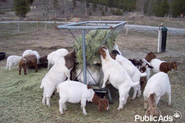 Healthy Boer Goats and Sheep For Sale