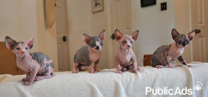 Home raised Sphynx kittens for sale