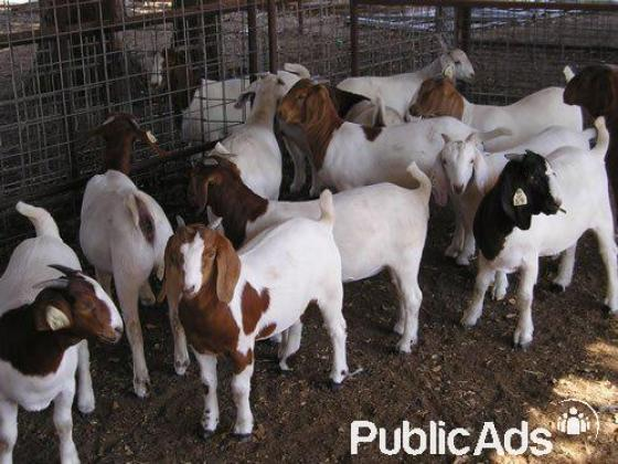 large quantity of healthy Boer goats, sheep and lambs for sale
