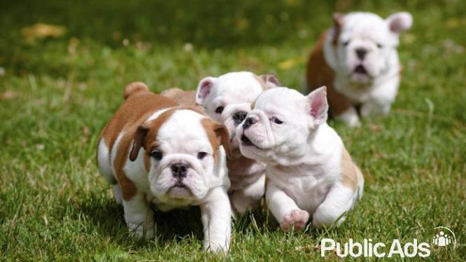 Quality English Bulldog puppies for sale