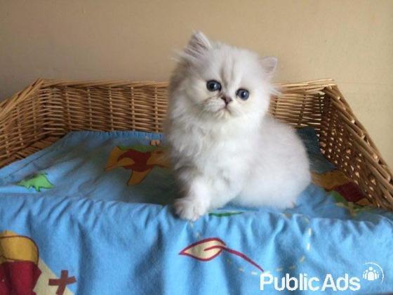 Registered chinchilla persian kittens