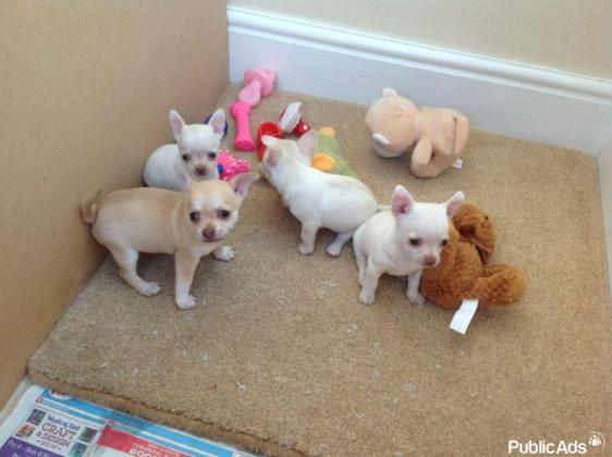Very Small Apple Head Chihuahua Puppies Smooth Coat